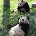 ふるさと納税でお得にパンダに会いに行こう!東京・和歌山・神戸の旅行に使えるふるさと納税も