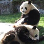 可愛いパンダがすぐそこに!おすすめアドベンチャーワールドのバックヤードツアー