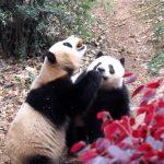 パンダはんこと お買い物パンダグッズランキング 無料プレゼント情報も