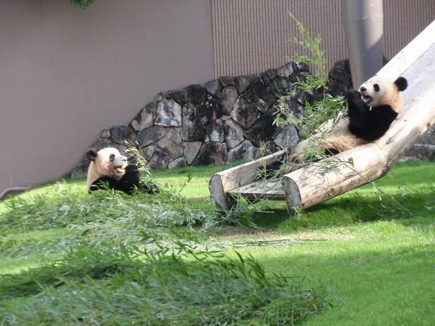 アドベンチャーワールドのパンダの赤ちゃん 一般公開と名前募集開始 応募方法