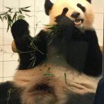 アドベンチャーワールドの赤ちゃんパンダの名前 まさかの最終投票実施!