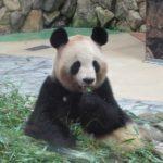 アメリカ スミソニアン動物園のパンダの赤ちゃん ライブ配信デビュー