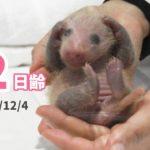 【パンダの赤ちゃん】耳の毛が生えるまでもう少し(12日齢)公式サイトより
